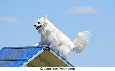 American Eskimo Dog at Dog Agility Trial
