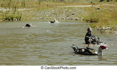 Wild ducks in pond - In small pond swim wild ducks and...