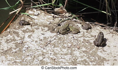River frog on shore - On concrete base on banks of river...