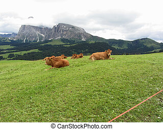 Brown cows on alpine pastures in summer Alpe di Siusi, South...