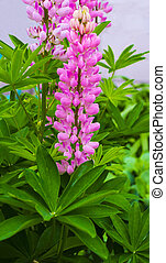 lupine - Purple and pink lupin and queen annes lace flowers...