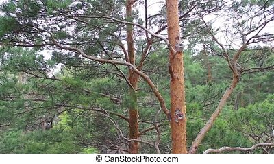 review of a pine forest in the park from above