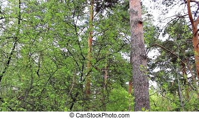 review of a pine forest