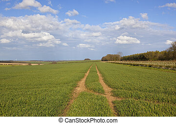 wheat crops in the yorkshire wolds - rolling hills with...