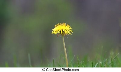 Dandelion - A Dandelion with sounds of Nature