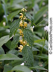 Yellow archangel Lamium galeobdolon in the meadow
