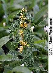 amarela, arcanjo, (Lamium, galeobdolo,