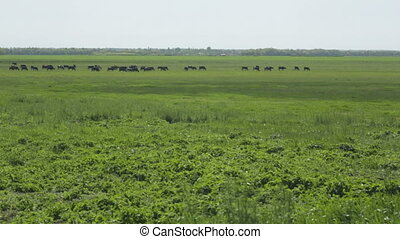 Cows in a meadow - Grazing Cows in Summer Landscape