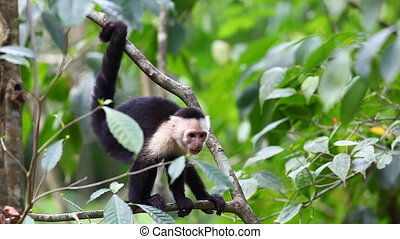 Wild White-faced Capuchin becoming agitated - A Wild...