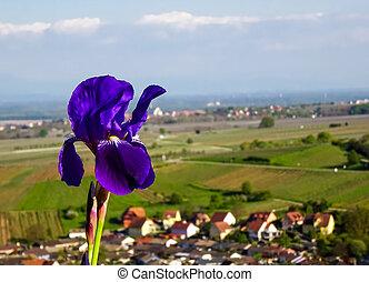 Violet fleur-de-lis close up view on the sun, springtime