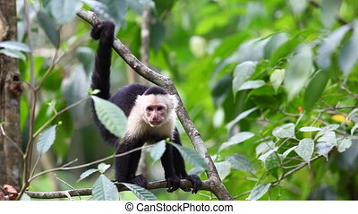 Wild White-faced Capuchin stops to scratch