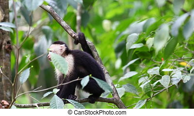 Wild White-faced Capuchin excited by something below - A...