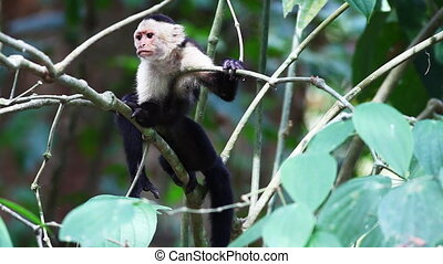 Wild White-faced Capuchin (Cebus capucinus) monkey relaxing...