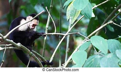Wild White-faced Capuchin (Cebus capucinus) monkey resting -...