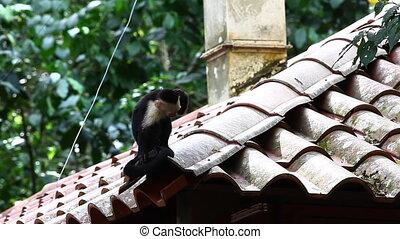 Wild White-faced Capuchin (Cebus capucinus) monkey looks...