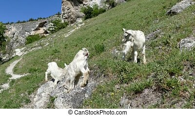 Goatlings in mountains - Little white goatlings grazing on a...