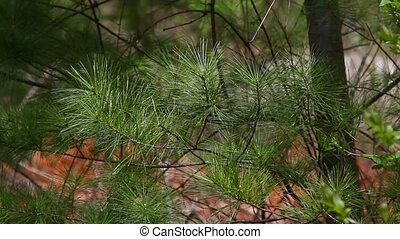 Pine needles - Branches of White Pine tree