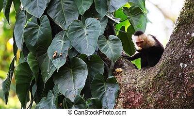 Wild White-faced Capuchin Cebus capucinus monkey preening -...