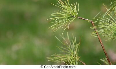 Pine tree - Branches of White Pine tree