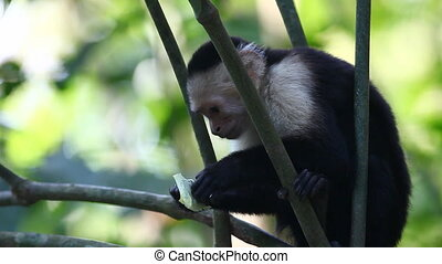 Pair of Wild White-faced Capuchins monkey interact - A Pair...