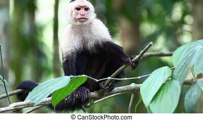 Wild White-faced Capuchin (Cebus capucinus) watches for...