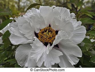 full-blown bud of white peony, close-up - White-blown bud...