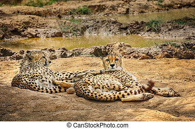 Two cheetah lying on ground - Two adult cheetah gepard lying...