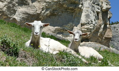 Goats Lie on a Slope of Mountains - Two Goats Lie on a Slope...