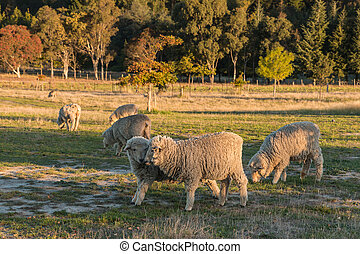 merino sheep grazing in paddock - flock of merino sheep...