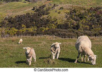 ewe with lambs grazing in paddock - ewe with two lambs...
