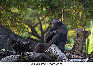 Chimpanzee Pan troglodytes is sitting on a log with its...