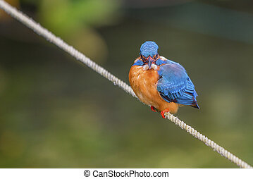 Kingfisher Alcedo atthis taprobana - Beautiful kingfisher...