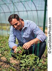 Farmer in the tomato greenhouse