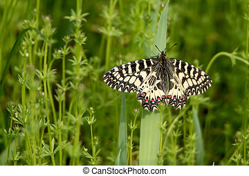 Southern Festoon Zerynthia polyxena butterfly on meadow