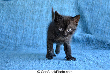 Cute black kitten - adorable black tabby kitten on blue...