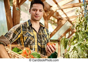 Friendly man harvesting fresh tomatoes from the greenhouse...