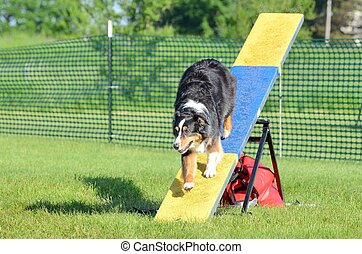Australian Shepherd (Aussie) at Dog Agility Trial - Tricolor...