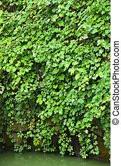 Wild vine leaves over lake - Green wild vine plant leaves...