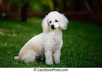 poodle white sit grass - white poodle sit on green grass...