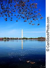 cherry blossom in Washington DC.
