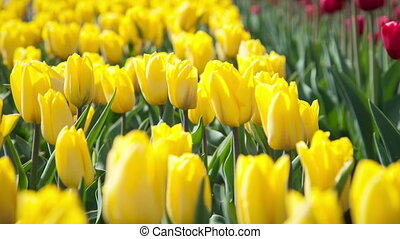 Beautiful yellow and red tulips on the flowerbed