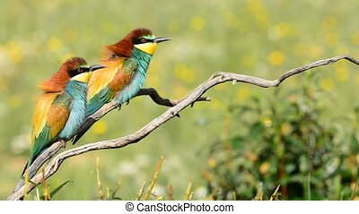 bee-eater on tree branch - Colorful bright bee-eater on tree...