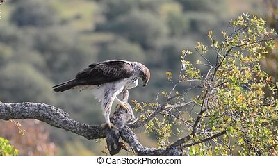 Bonellis eagle - View on beautiful wild Bonellis eagle...