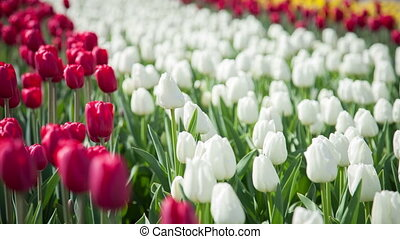 White and red tulips on the flowerbed