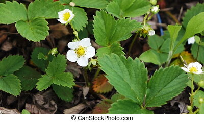 Flowers strawberries spring - Bushes blooming in spring...