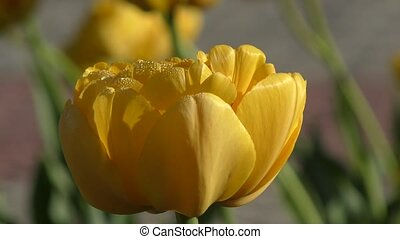 Yellow tulips and morning dew - Double yellow tulips and...