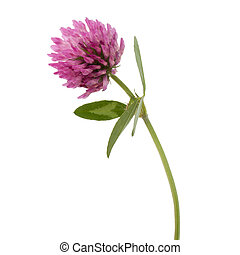 Clover or trefoil flower medicinal herbs isolated on white...