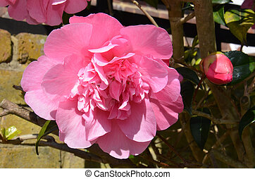 Camellia sasanqua Sas Cam - Blooming colourfully here in a...
