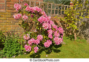 Rhododendron Fam; Ericaceae - Blooming colourfully here in a...