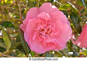 Camellia sasanqua ( Sas. Cam.) - Blooming colourfully here...